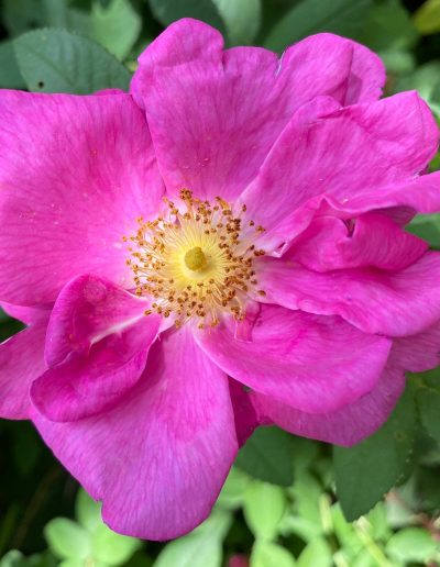 Rosa gallica officinalis,