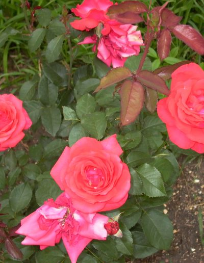 Unknown Rose Hybrid Tea