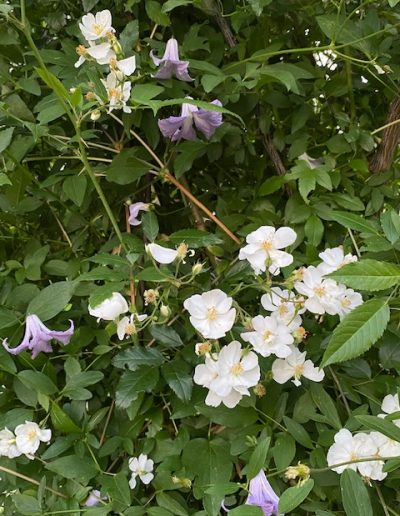Darlow's Enigma  with Betty Corning clematis.